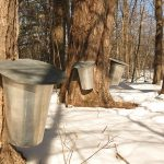 This Weekend at the Stamford Museum: The Maple Sugar Festival!